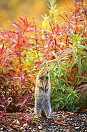 Arctic Ground Squirrel standing against fall color foliage, Denali National Park & Preserve, Interior Alaska, Autumn. Vertical image.