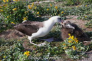 Laysan albatross, Phoebastria immutabilis, attacking an unrelated chick to keep it away from its own nesting area, Sand Island, Midway Atoll, Midway National Wildlife Refuge, Papahanaumokuakea Marine National Monument, Northwest Hawaiian Islands, USA ( North Pacific Ocean )