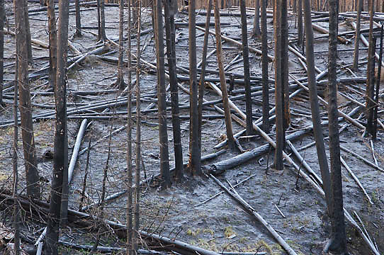 Charred, burnt lodgepole pine forest from fires of 1988 in Yellowstone National Park.