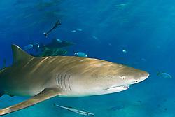 Lemon Shark, Negaprion brevirostris, West End, Grand Bahama, Bahamas, Caribbean, Atlantic Ocean