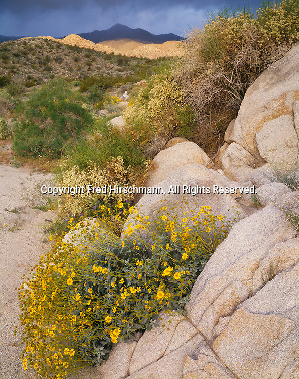 Morning desert light with approaching storm clouds, brittlebush blooming among granite boulders, Carrizo Canyon, Anza-Borrego Desert State Park, California.