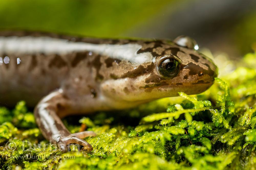 Pacific Giant Salamander (Dicamptodon tenebrosus) photographed at night near Mt. Defiance in the Columbia River Gorge, Oregon.