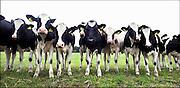 Nederland, Twekkelo, 16-7-2014 Jonge koeien, pinken, in de wei. Foto: Flip Franssen/Hollandse Hoogte