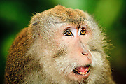 Apr. 21 - UBUD, BALI, INDONESIA: A long tail macaque in the Monkey Forest in Ubud, Bali. Hundreds of long-tailed macaques (Macaca fascicuiaris) live in the forest, which is also the site of several Hindu temples and is sacred in Bali society.  Photo by Jack Kurtz/ZUMA Press