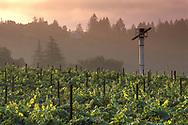 Vineyard at sunrise in the Napa Valley, near St. Helena, Napa County, California