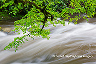 66745-04517 Middle Prong Little River in spring Great Smoky Mountains National Park TN