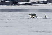 A polar bear with cubs (Ursus maritimus) walking on the ice ,Svalbard, Norway