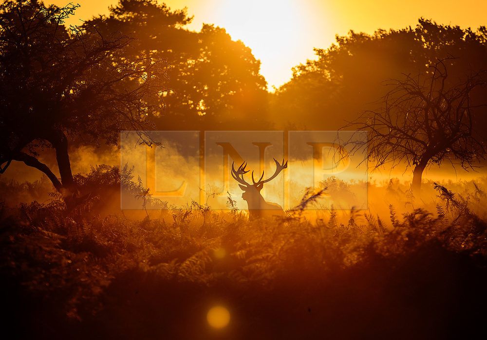 © Licensed to London News Pictures. 06/10/2017. London, UK. A stag is seen at sunrise in Bushy Park. A high of 15 centigrade is expected in parts of the south today. Photo credit: Peter Macdiarmid/LNP