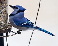 Blue Jay at the Bird Feederl. Image taken with a Nikon D5 camera and 600 mm f/4 VR lens (ISO 3200, 600 mm, f/5.6, 1/320 sec).