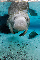 Florida manatee, Trichechus manatus latirostris, a subspecies of the West Indian manatee, endangered. A female manatee floats at the surface in the warm blue freshwater springs. Her snout and whiskers are prominent. Another manatee rests peacefully in the background. Vertical orientation with blue water, and reflection. Three Sisters Springs, Crystal River National Wildlife Refuge, Kings Bay, Crystal River, Citrus County, Florida USA.