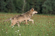 Timber or Grey Wolf, Canis Lupus, Minnesota USA, controlled situation, running through meadow field, summer