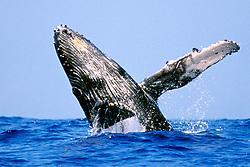 humpback whale, calf breaching, Megaptera novaeangliae, note colony of acorn barnacles, Coronula diaderma, started to grow under chin, Hawaii, Pacific Ocean