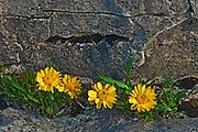 RARE Lakeside daisies (Tetraneuris herbacea) on shore of Georgian Bay<br />Bruce Peninsula National Park<br />Ontario<br />Canada