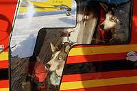 Injured sled dogs waiting to be flown out to sarety from a remote checkpoint during the Yukon Quest dog sled race.