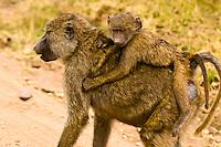 A baby baboon getting a ride, Serengeti National Park, Tanzania
