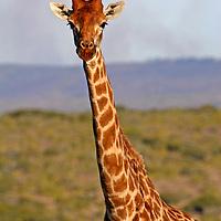 Africa, South Africa, Kwandwe Private Game Reserve. Masai Giraffe.