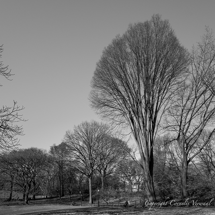 Probably an American Elm near East 79th street in Central Park