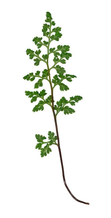 Jersey Fern - Anogramma leptophylla
