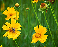 Lance-leaf Coreopsis. Image taken with a Leica SL2 camera and 55-135 mm lens