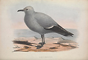 Larus Bridgesi, Sea gull from Zoologia typica; or, Figures of new and rare animals and birds described in the proceedings, or exhibited in the collections of the Zoological Society of London. By Fraser, Louis. Zoological Society of London. Published London, March 1847