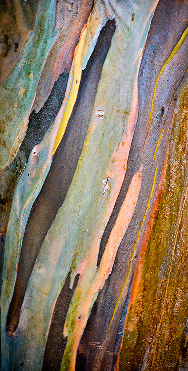 The colors of Eucalyptus tree bark (Eucalyptus botryoides) become vividly evident when moistened by the frquent passing mists along the flanks of Mount Haleakala, a 10,023 foot high volcano in Maui, Hawaii.  Panorama composed of 2 individual images.
