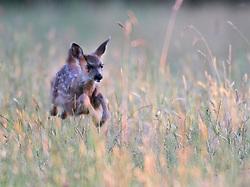 June 27, 2017 - Elkton, OREGON, U.S - A black-tailed deer fawn leaps through tall grass growing in a field along a country road near Elkton in rural Southwestern Oregon. (Credit Image: © Robin Loznak via ZUMA Wire)