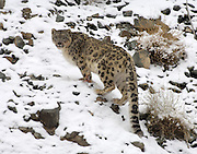 India - Sunday, Dec 03 2006: Snow Leopard (Uncia uncia) in Hemis National Park, Ladakh. (Photo by Peter Horrell / http://www.peterhorrell.com)