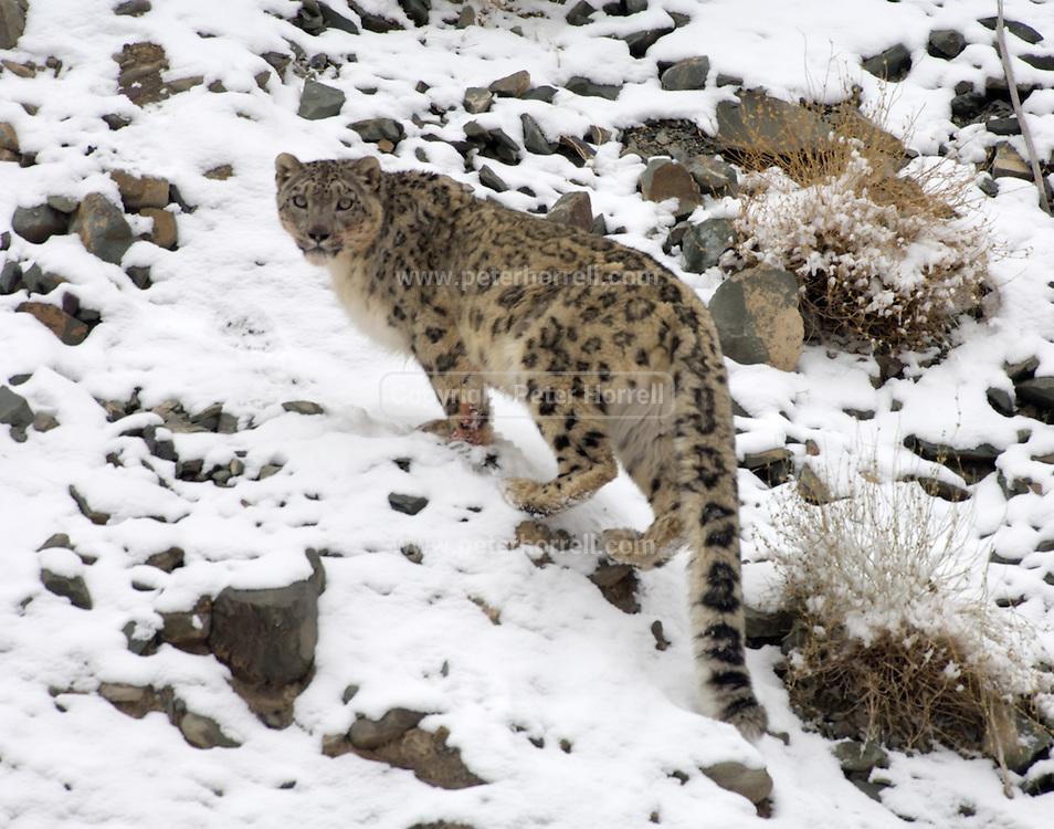 India - Sunday, Dec 03 2006: Snow Leopard (Uncia uncia) in Hemis National Park, Ladakh. (Photo by Peter Horrell / http://www.peterhorrell.com)