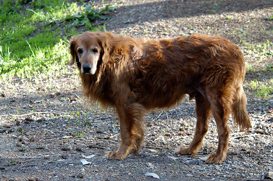 Bridger, a Golden Retriever Dog. Montana.