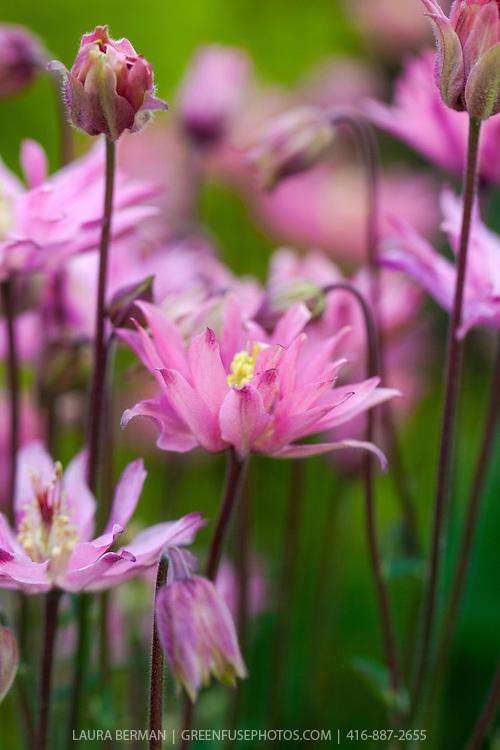 'Clementine Rose' columbine, a beautiful clematis-flowered columbine in tones of pink. (Aquilegia vulgaris 'Clementine Rose')