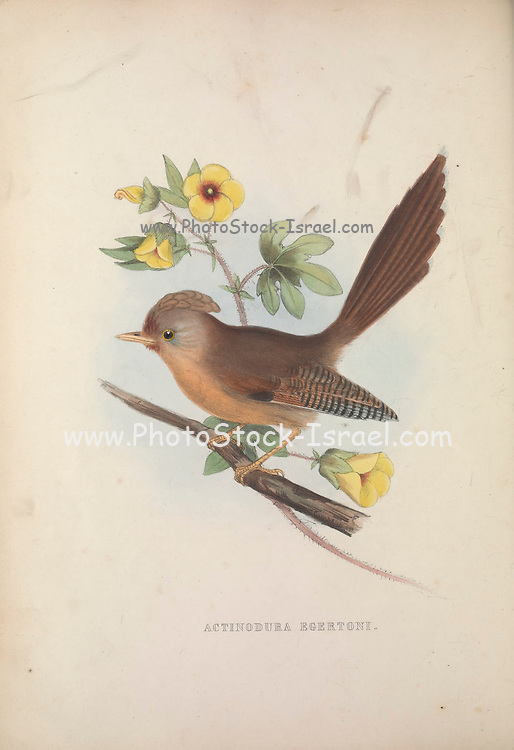 Rusty-fronted Barwing (Actinodura egertoni) from Zoologia typica; or, Figures of new and rare animals and birds described in the proceedings, or exhibited in the collections of the Zoological Society of London. By Fraser, Louis. Zoological Society of London. Published London, March 1847