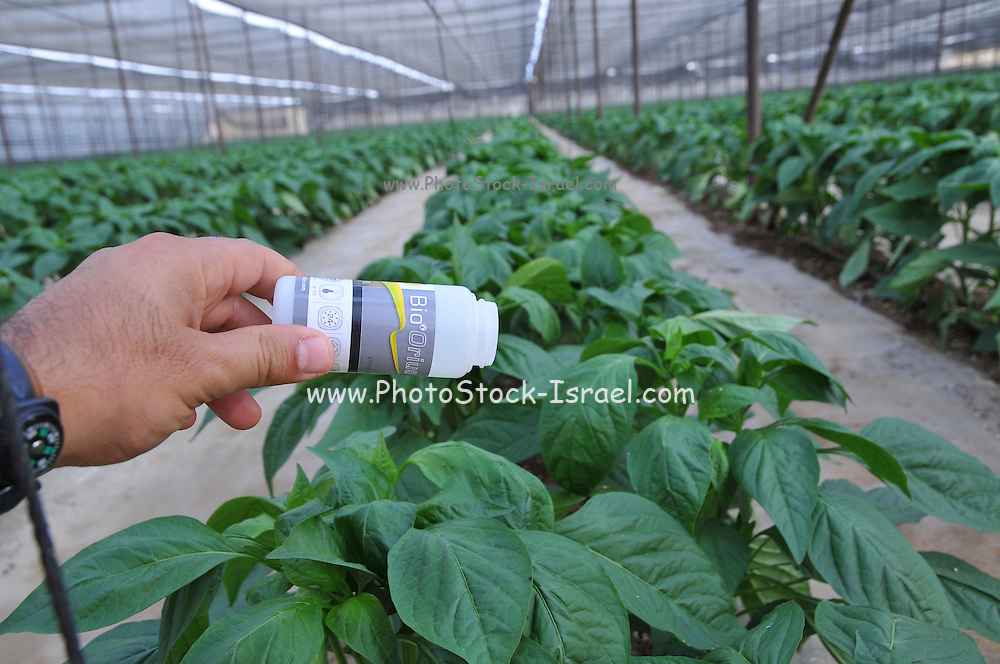 Organic pepper farm. Peppers are cultivated insdie a hothouse to keep them moist and cool. Bio Orius a bio-control agent applied to the plants. Photographed at Paran in the Aravah desert, Israel