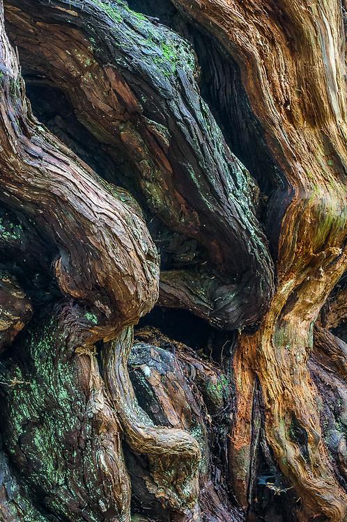 Western red cedar (Thuja plicata) old growth temperate rain forest, Olympic National Park, Washington, USA