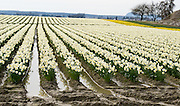 yellow and white daffodil (Narcissus) flowers bloom in the Skagit River Delta, Washington, USA between the towns of Mount Vernon and La Conner.