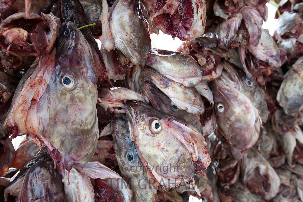 Stockfish cod heads drying on traditional racks, hjell, on the island of Ringvassoya in Tromso region, Norway