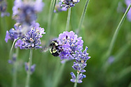 A Bumblebee gathering nectar on a lavender flower in a Fraser Valley garden.  Lavender is a favourite flower amoung nectarivores in the garden.