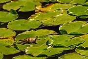 An eastern painted turtle (Chrysemys picta) basks on a lillypad not far from where a common housefly has alighted.<br /> <br /> The eastern painted turtle is the most widespread native turtle of North America. Fossils show that the painted turtle existed 15 million years ago. The adult painted turtle female is 10–25 cm (4–10 in) long while the male is smaller. Reliant on warmth from its surroundings, the painted turtle is active only during the day when it basks for hours on logs or rocks, or in this unusual case on a lillypad. During winter, these turtles hibernate, usually in the mud at the bottom of the pond. Adults in the wild can live for more than 55 years.