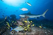 tiger shark, Galeocerdo cuvier, investigates coral reef populated by bluefin jacks or trevally, Caranx melampygus, blueline snappers, Lutjanus kasmira, surgeonfish, & other tropical fish, Honokohau, Kona, Big Island, Hawaii, USA ( Central Pacific Ocean )
