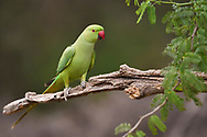 Rose-ringed parakeet, Psittacula krameri, in Keoladeo Ghana National Park, Bharatpur, Rajasthan, India