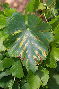 Vine leaf showing attack by chlorosis le cellier des princes chateauneuf du pape rhone france