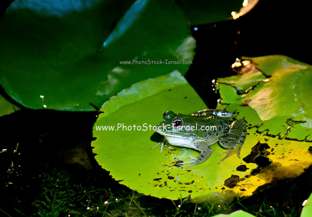 European green toad (Bufo viridis or Pseudepidalea virdis) on water lily leaf