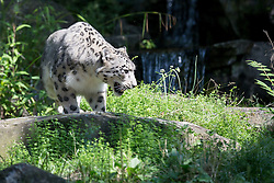 13.08.2015, Zoo, Koeln, GER, Schneeleoparden Nachwuchs, im Bild Schneeleopardin Siri // the little snow leopard barid in his first excursions at the Zoo in Koeln, Germany on 2015/08/13. EXPA Pictures © 2015, PhotoCredit: EXPA/ Eibner-Pressefoto/ Schueler - Pressefoto<br /> <br /> *****ATTENTION - OUT of GER*****
