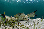 Florida stone crab, Menippe mercenaria, in seagrass bed, turtle grass, Thalassia testudinum, Sandy Point, Great Abaco Island, Abacos, Bahamas ( Western Atlantic Ocean )