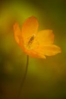 A beautiful Poppy in full bloom.