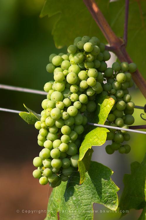 Grape bunch along steel wires. Fidal vine nursery and winery, Zejmen, Lezhe. Albania, Balkan, Europe.
