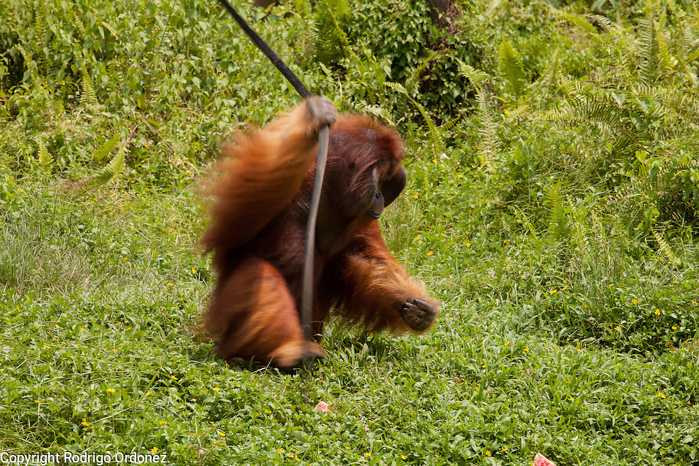 A male orangutan walks on his hind legs at the sanctuary run by the Borneo Orangutan Survival Foundation in the Samboja Lestari conservation area in Kutai Kartanegara district, East Kalimantan, Indonesia, on March 13, 2016. This sanctuary offers a natural environment to orangutans that cannot be returned to the wild because of their severe disabilities or because they were raised in captivity and can no longer learn forest skills. Bornean Orangutans (Pongo pygmaeus) are classified as Endangered by IUCN because of the loss of rainforests to agriculture or fires, poaching and the pet trade. <br /> (Photo: Rodrigo Ordonez)
