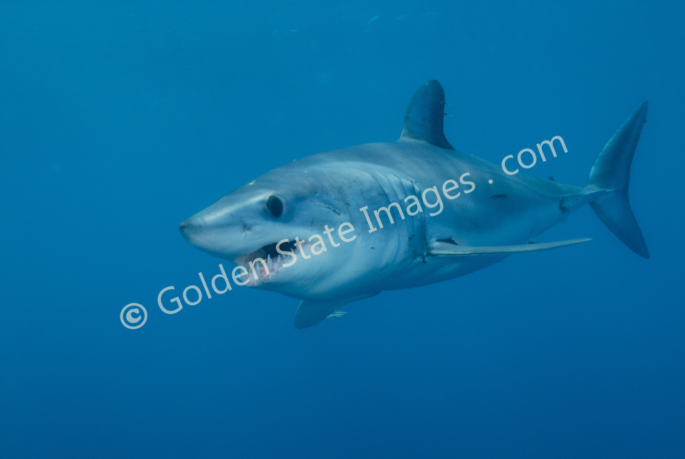 Makos can swim for short bursts at speeds believed to exceed 40 miles per hour.  They will often breach while chasing prey. Length to 12 feet.   <br /> <br /> They have a sleek torpedo shape and a jumble of sharp teeth. <br />  <br /> One of two species in the mackerel shark family, Isuridae.   <br /> <br /> Range: Found worldwide in warm and temperate oceans.     <br /> <br /> Species: Isurus oxyrinchus