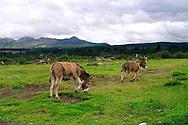 Donkeys grazing in Cotopaxi National Park, Ecuador.