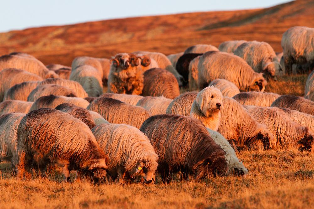 Romanian shepherd dog (breed: Mioritic) among group of Domestic sheep (Ovis aries) in the Tarcu Mountains Natura 2000 site. Southern Carpathians, Munții Ṭarcu, Caraș-Severin, Romania.