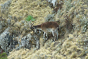 Walia Ibex, Capra walie, male, on steep mountain slope, Simien Mountains National Park, Ethiopia, Endemic, critically endangered, rare, IUCN Red List 2004